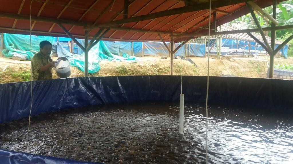 Teknik Memanen Ikan Gurame Konsumsi Bogor Gurame Bogor